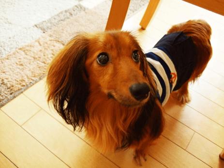ボーダーの服着た茶色い小型犬
